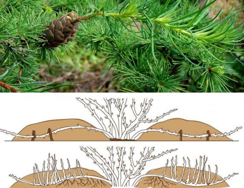 Размножение лиственницы отводками