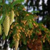 Сосновые иголки: лечебные свойства и противопоказания к применению