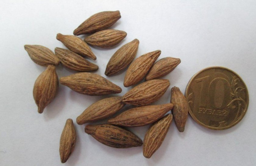 Семена жасмина