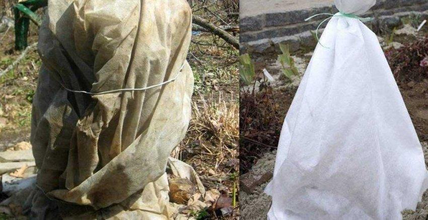 Укрытие жасмина на зиму