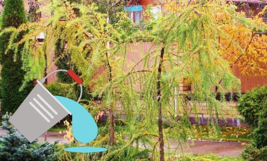 Пересадка лиственницы осенью
