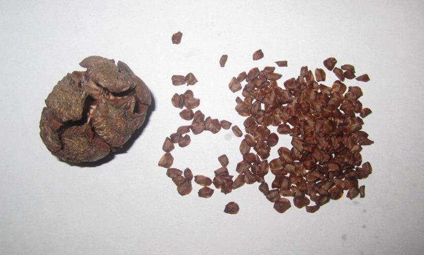 Семена кипариса