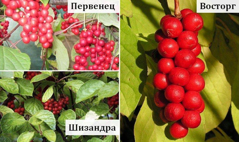 Сорта лимонника для Урала