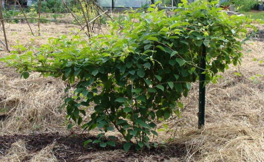 Место для выращивания лимонника