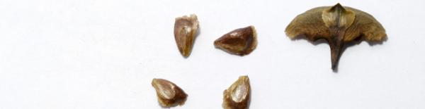 Как вырастить пихту из семян: выращивание в домашних условиях, как ухаживать и чем подкармливать, как вырастить у себя на даче