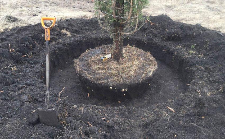 Выкопка дерева