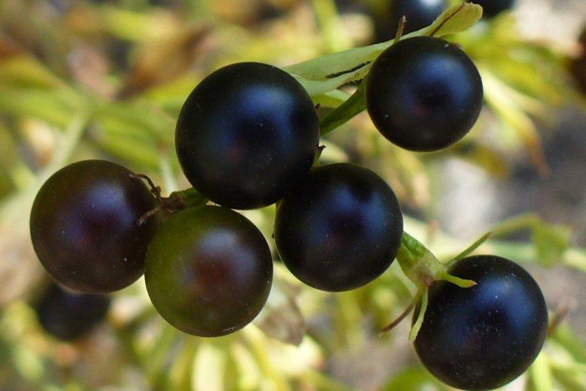 Плоды жасмина