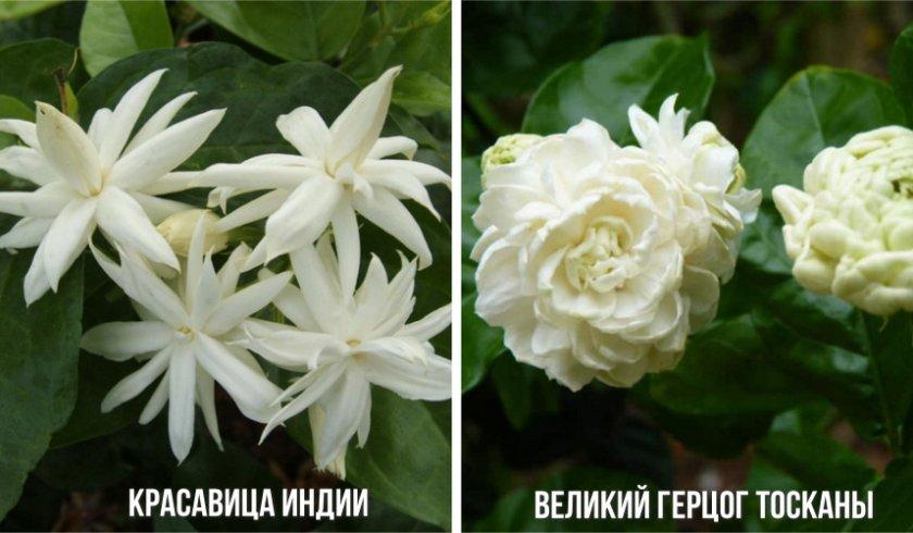 Сорта жасмина Самбак