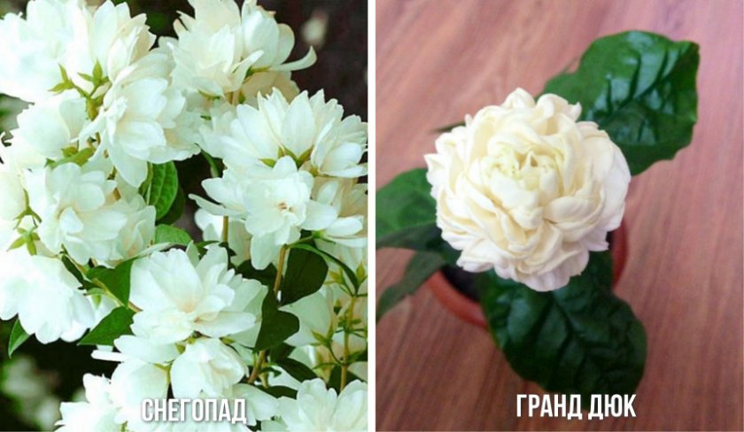 Сорта многоцветкового жасмина