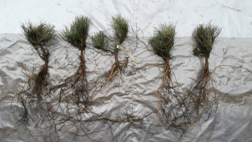 Молодые корни сибирского кедра