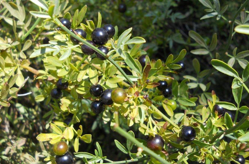 Плодоносность жасмина