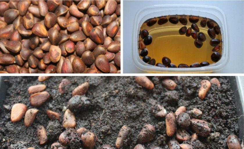 Подготовка семян кедра