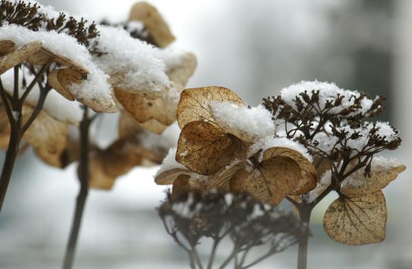 Как должна зимовать гортензия