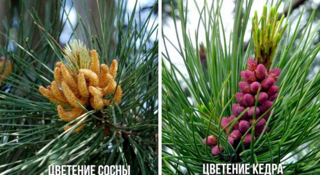 Отличия кедра от сосны в картинках
