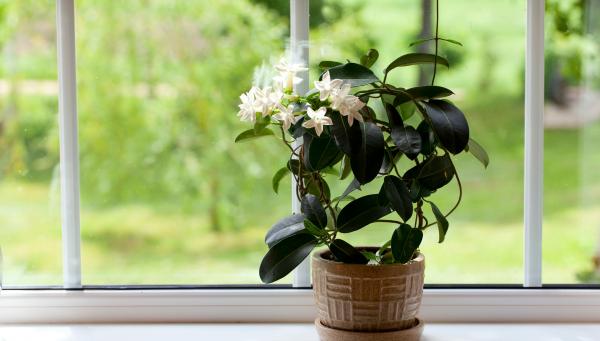 Как ухаживать за жасмином в домашних условиях