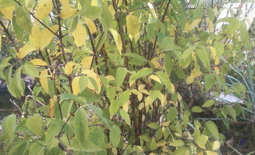 Отсутствие цветения у жасмина
