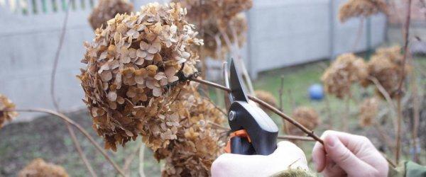 Надо ли обрезать соцветия гортензии на зиму