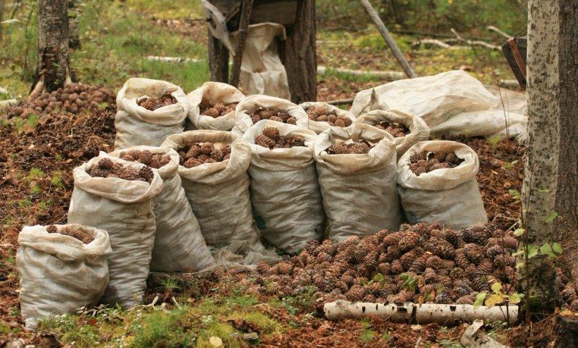 Сбор шишек кедрового ореха