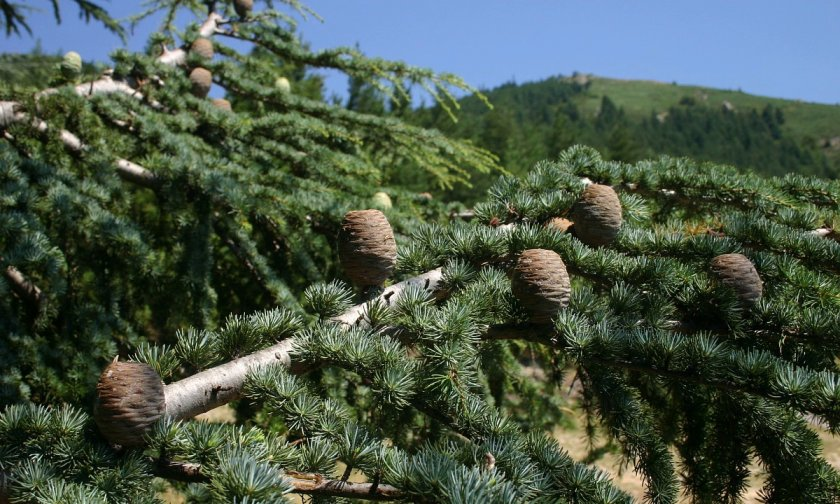 Кедровое дерево