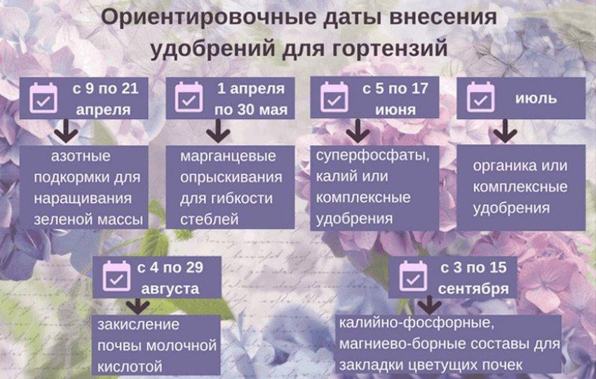 Схема подкормки гортензий