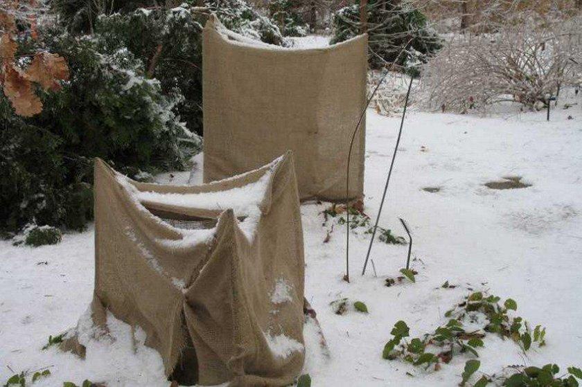 Гортензия садовая посадка и уход в открытом на урале