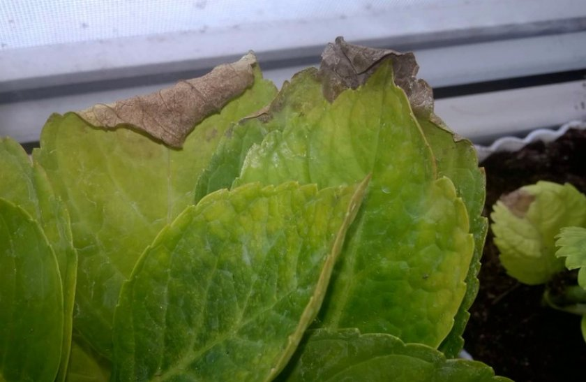 Опадание листьев гортензии