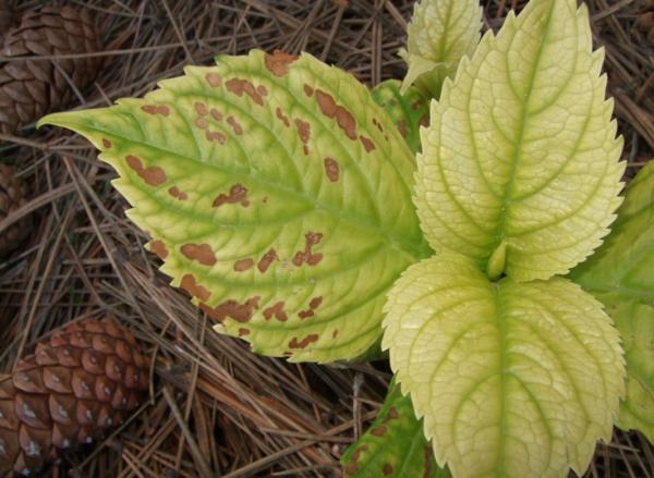 Почему у гортензии зеленые цветы основные причины