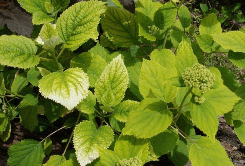 Бледные листья гортензии