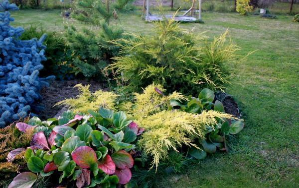Можжевельник в саду - все плюсы и минусы