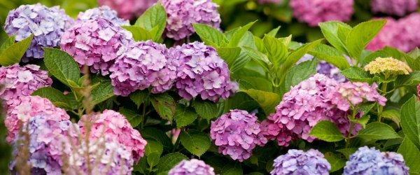 Гортензия травянистая: как сажать, ухаживать, сорта и виды, обрезка, как правильно вырастить цветок в саду, куст в домашних условиях