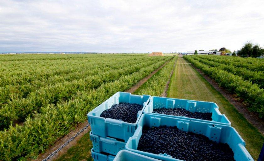 Урожай с плантации черники