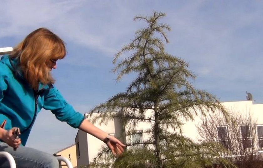 Обрезка кедра весной