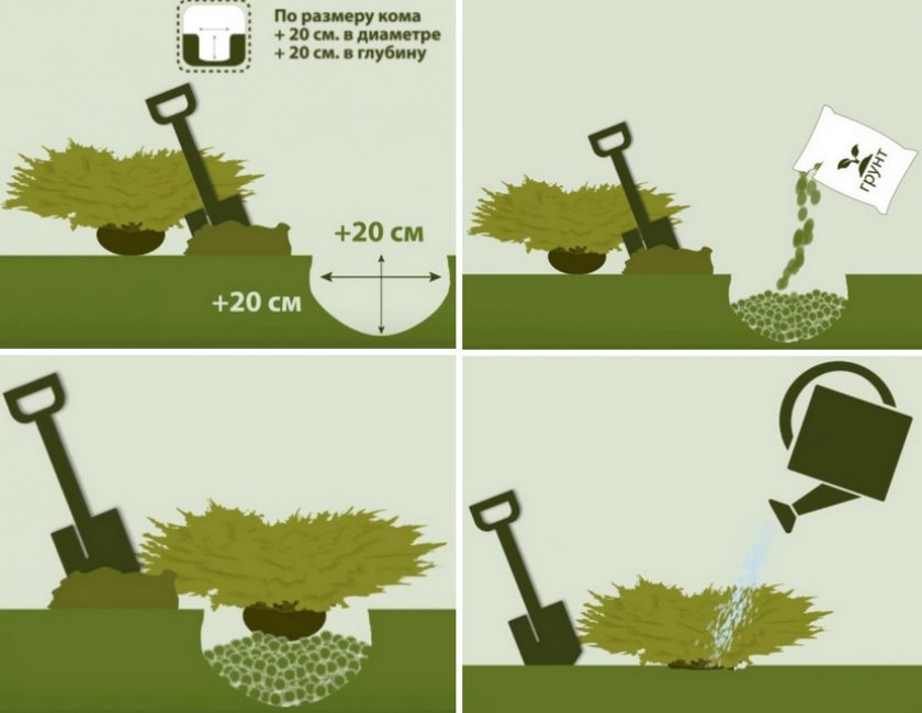 Схема посадки можжевельника