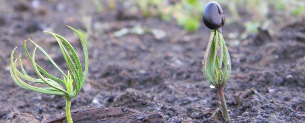 Как вырастить кедр из веточки