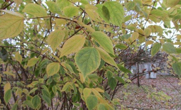 Как обрезать жасмин: как правильно подстричь растение после цветения и осенью, зачем формировать чубушник{q}