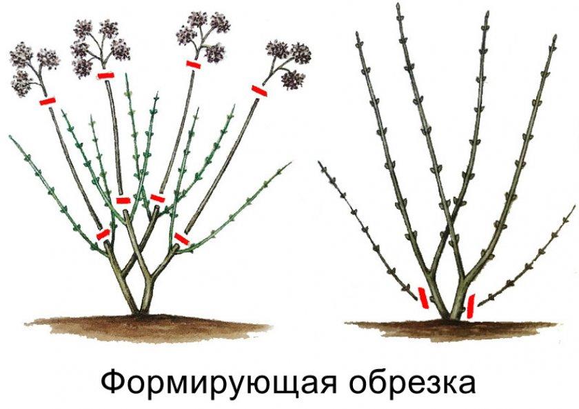 Гортензия древовидная баунти посадка и уход в открытом грунте