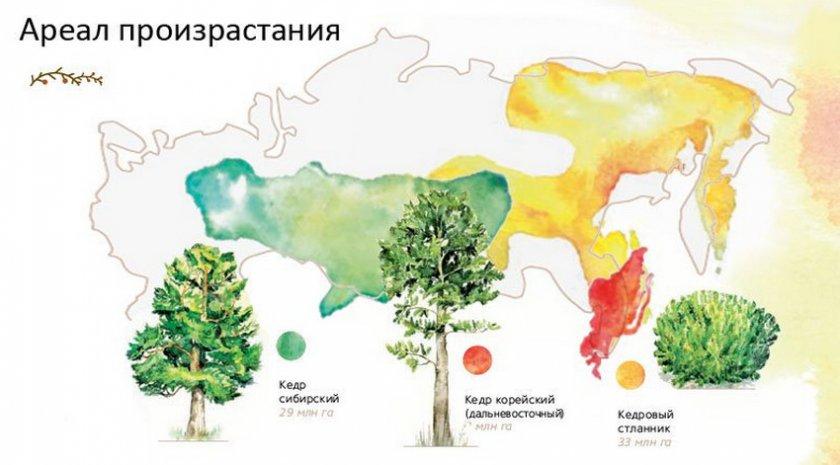 Ареал произрастания кедра на территории России