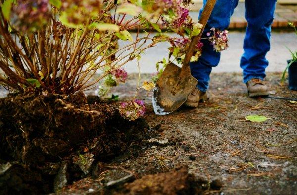 Когда пересаживать гортензии: осенью или весной?