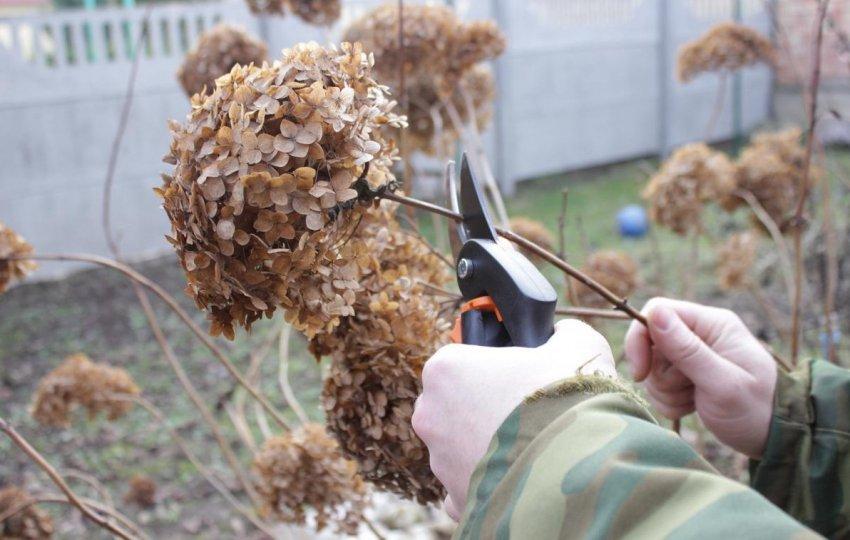 Осенняя обрезка гортензии