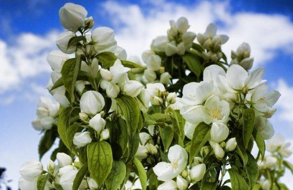 Как посадить жасмин саженцами весной