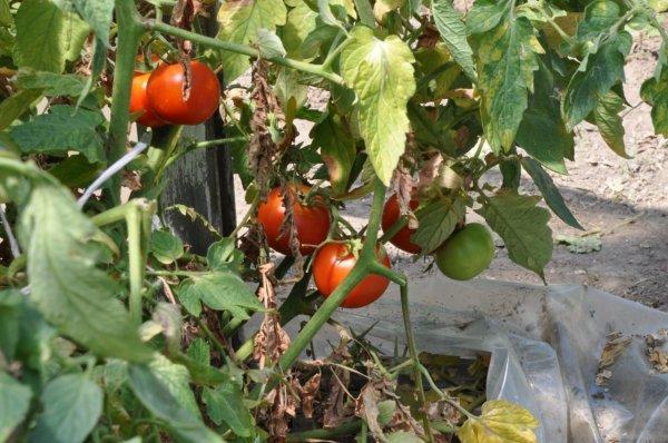 профилактика фитофторы на помидорах в теплице народными
