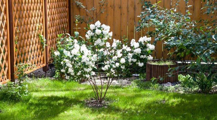 Куст жасмина в саду