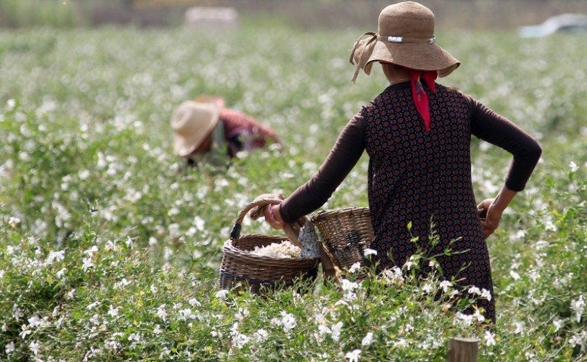 Сбор цветов жасмина