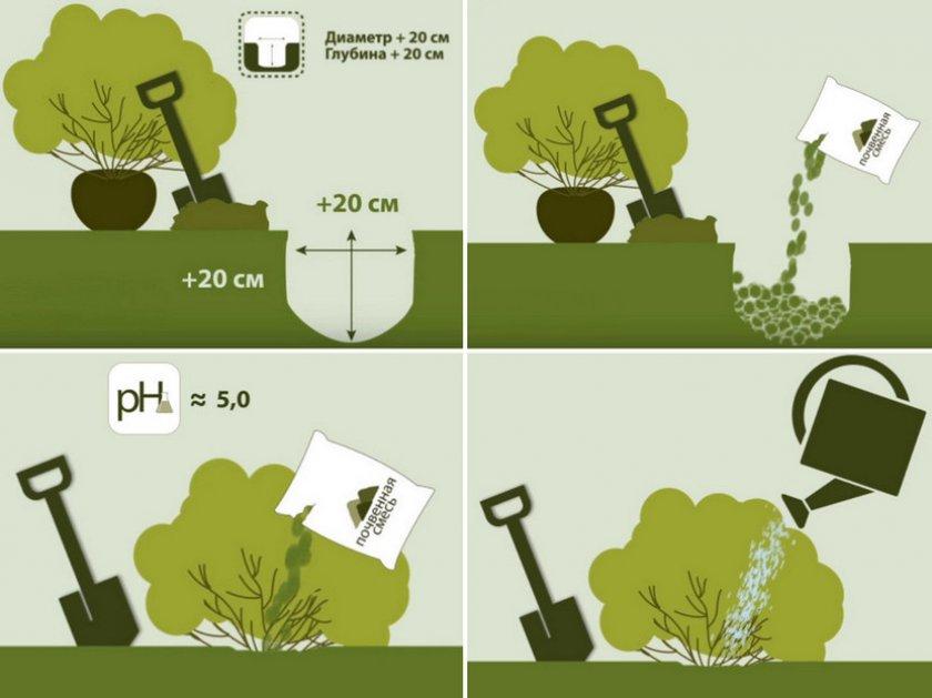Схема посадки гортензии