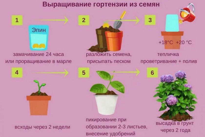 Выращивание гортензий из семян