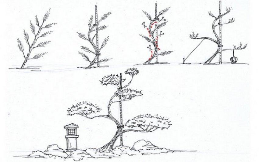 Схема стрижки ниваки
