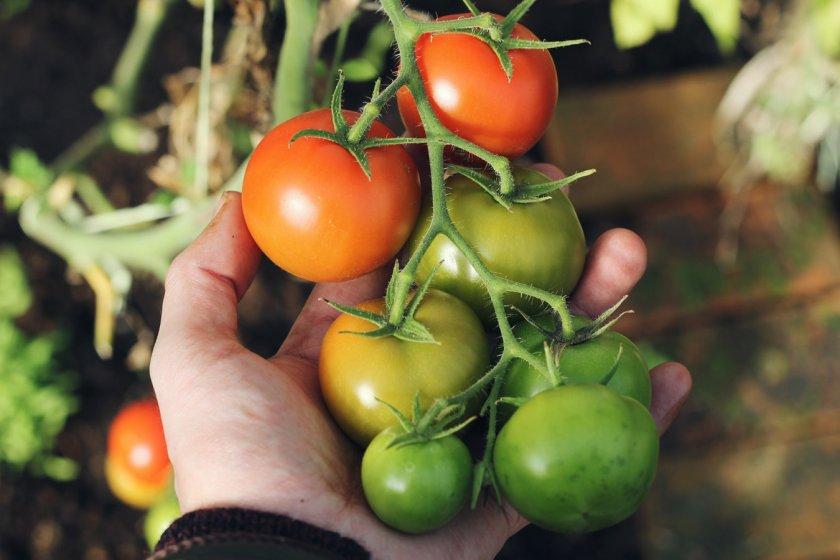 Сорта томатов для дозревания