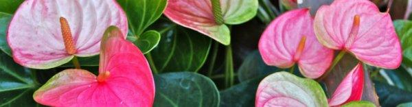 Почему не цветет антуриум в домашних условиях, как ухаживать, чтобы он зацвел и что делать во время цветения