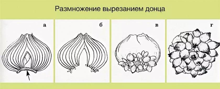 Размножение гиацинта вырезанием донца
