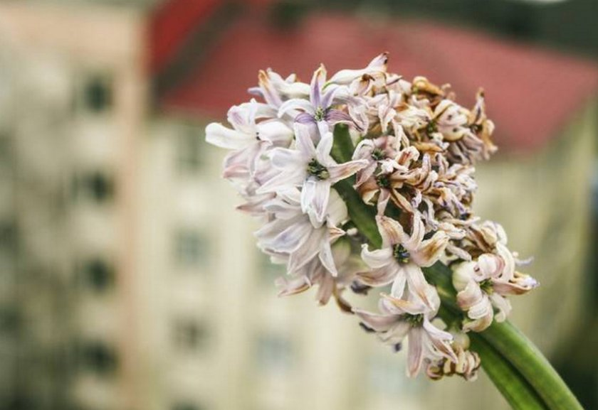Загнивают и осыпаются цветки у гиацинта